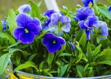Fondo floral colorido de los pensamientos del pensamiento de la flor Fotos de archivo