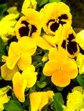 Fondo floral colorido de los pensamientos del pensamiento de la flor Foto de archivo