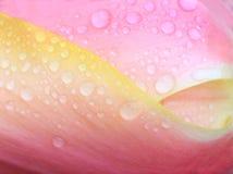 Fondo floral con descensos de rocío, primer del tulipán Foto de archivo libre de regalías