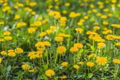 Fondo floral de dientes de león amarillos Imágenes de archivo libres de regalías