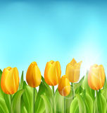 Fondo floral de la naturaleza con las flores de los tulipanes y el cielo azul Foto de archivo libre de regalías