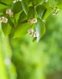 Fondo floral de la primavera asombrosa, flores blancas del jazmín Imagen de archivo