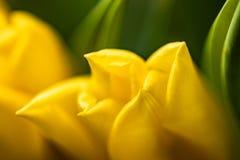 Fondo floral de la primavera con las flores del tulipán Día de fiesta y diseño estacional Macrophotography del tulipán foto de archivo libre de regalías