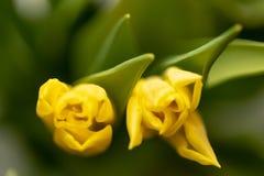 Fondo floral de la primavera con las flores del tulipán Día de fiesta y diseño estacional Macrophotography del tulipán imagen de archivo libre de regalías