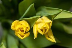Fondo floral de la primavera con las flores del tulipán Día de fiesta y diseño estacional Macrophotography del tulipán imagen de archivo