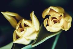 Fondo floral de la primavera con las flores del tulipán Día de fiesta y diseño estacional Macrophotography del tulipán imagenes de archivo