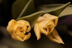 Fondo floral de la primavera con las flores del tulipán Día de fiesta y diseño estacional Macrophotography del tulipán imágenes de archivo libres de regalías