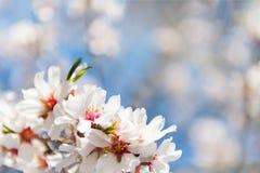 Fondo floral de la primavera hermosa con las ramas florecientes de la almendra, bokeh, fondo borroso y textura, espacio para su t foto de archivo libre de regalías