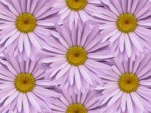 Fondo floral de manzanillas rosas claras Primer Composición de la flor Imagen de archivo libre de regalías
