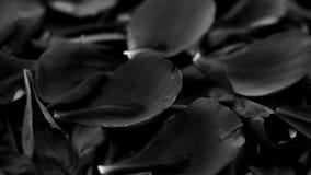 Fondo floral del negro del extracto, p?talos de la flor en agua metrajes