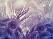 Fondo floral Florece margaritas púrpuras en un fondo púrpura-blanco Tarjeta de felicitación foto de archivo