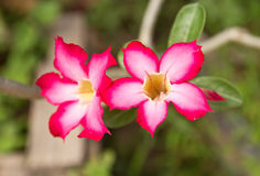 Fondo floral hermoso. Adenium tropical del rosa de la flor. Fotos de archivo