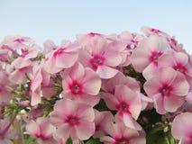 Fondo floral hermoso con la hortensia Imágenes de archivo libres de regalías