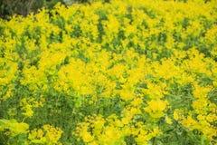 Fondo floral hermoso de flores amarillas Foto de archivo