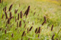 (Fondo floral hermoso de la flor de Ribwort) Fotos de archivo libres de regalías