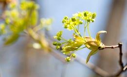 Fondo floral hermoso del tiempo de primavera La rama de árbol floreciente de arce, amarillea las flores y el primer fresco de las Foto de archivo libre de regalías