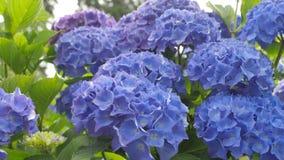 Fondo floral hermoso en colores azules Imagen de archivo libre de regalías