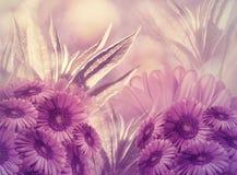 Fondo floral Margaritas rosadas de las flores en un fondo púrpura-rosado Tarjeta de felicitación foto de archivo