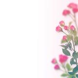 Fondo floral: rosas aisladas sobre el fondo blanco Imagen de archivo