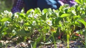 Fondo floral, trabajo sobre el diagrama del jardín con las plantas, manos del ` s de las mujeres almacen de metraje de vídeo