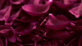 Fondo floral violeta del extracto, p?talos de la flor en agua almacen de metraje de vídeo