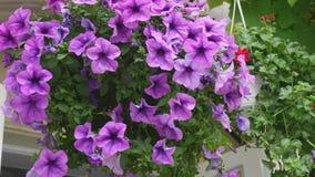 Fondo floral violeta púrpura de la cama de flor del hybrida de la petunia Flores florecientes en la cesta del jardín, macizo de f metrajes