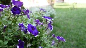 Fondo floral violeta púrpura de la cama de flor del hybrida de la petunia Flores florecientes en la cesta del jardín, macizo de f almacen de video