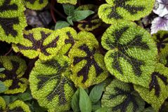 Fondo floreale con il masoniana modellato della begonia delle foglie fotografia stock libera da diritti