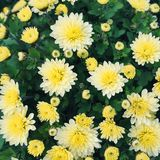 Fondo floreale dei crisantemi gialli Fotografia Stock