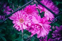 Fondo floreale dei crisantemi rosa nelle gocce di pioggia fotografia stock