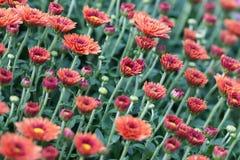 Fondo floreale dei crisantemi rossi del campo Foto variopinta del primo piano di molti fiori delle mummie Fuoco selettivo Fotografia Stock Libera da Diritti