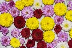 Fondo floreale dei fiori colorati multi del crisantemo Germogli dei crisantemi su un fondo di legno Immagine Stock Libera da Diritti