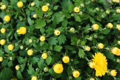 Fondo floreale dei germogli gialli dei crisantemi Fotografia Stock Libera da Diritti