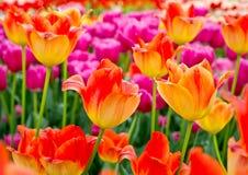 Fondo floreale dei tulipani Immagine Stock