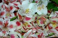 Fondo floreale di estate di Alstroemeria dei petali del natura-fiore C Fotografie Stock