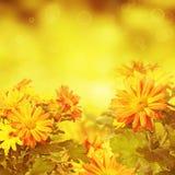 Fondo floreale dorato del crisantemo Fotografia Stock