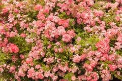 Fondo floreale, struttura delle rose Immagini Stock