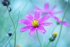 Fondo floreale - universo porpora fiorisce - foto di riserva di estate Fotografia Stock Libera da Diritti