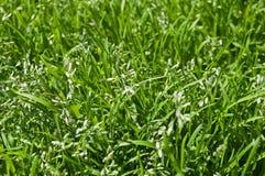 Fondo florecido de la hierba Fotografía de archivo