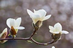 Fondo floreciente de la magnolia blanca Fondo botánico Imágenes de archivo libres de regalías