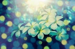 Fondo floreciente de la naturaleza de la primavera de la flor del Plumeria Foto de archivo libre de regalías
