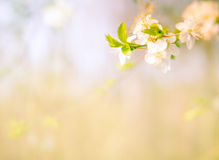 fondo floreciente de la rama de árbol Imagen de archivo libre de regalías