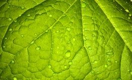 Fondo, foglia verde di una pianta Fotografia Stock Libera da Diritti