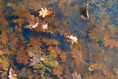 Fondo Foglie della quercia sul ghiaccio Fotografie Stock
