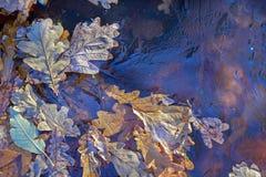 Fondo Foglie e lemma della quercia sotto il ghiaccio Immagini Stock Libere da Diritti