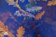 Fondo Foglie e lemma della quercia sotto il ghiaccio Immagine Stock Libera da Diritti