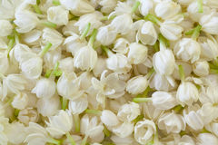 Fondo fresco de la flor del jazmín Foto de archivo libre de regalías