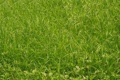 Fondo fresco dell'erba verde Fotografia Stock