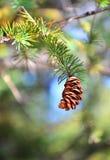 Fondo fresco naturale, pino sul verde, sugli aghi del fuoco e sul cono, ramoscelli della sfuocatura Fotografia Stock