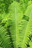 Fondo fresco verde del helecho del bosque Foto de archivo